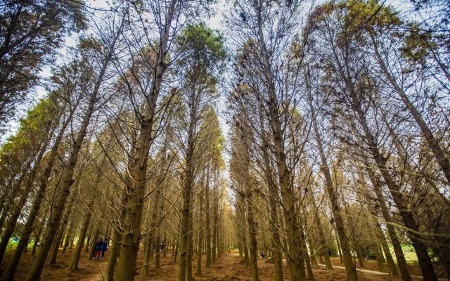 八徳ラクウショウ森林